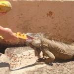 lizards breakfest
